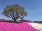 北部運動公園(芝桜)