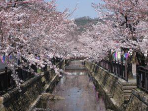 八瀬川(桜)