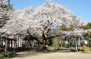 世良田東照宮(桜)